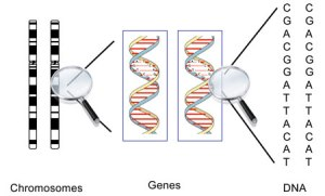 Genes_DNA_chart[1]